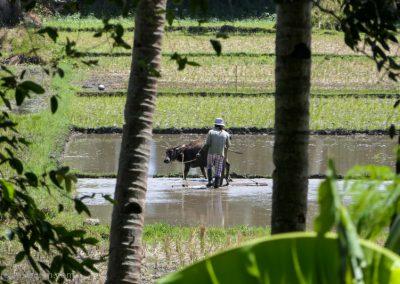 Pflügender Reisbauer