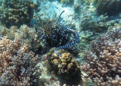 Banded Sea Snake - sehr giftig